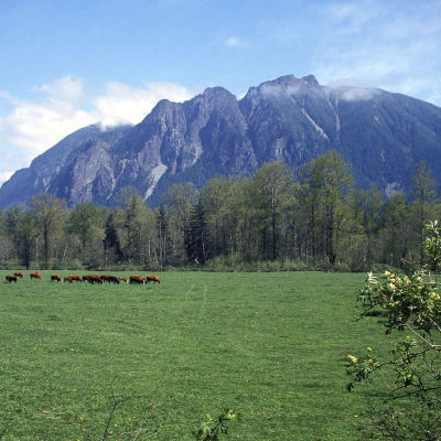 Mt si and meadowbrook cows xskgyu