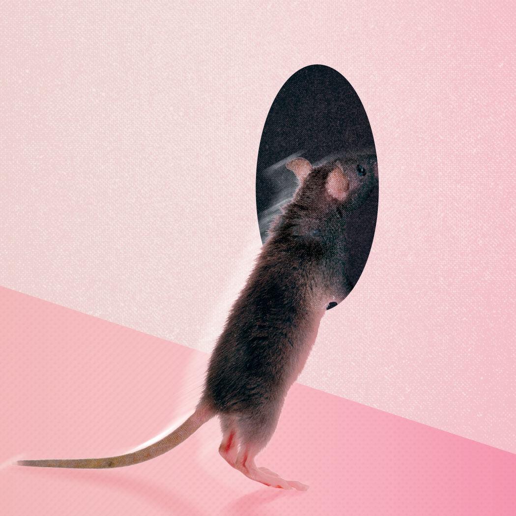 Seme 0117 mud rat c8krbb