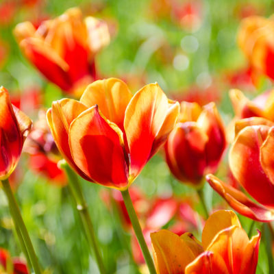 Tulips ppwizq