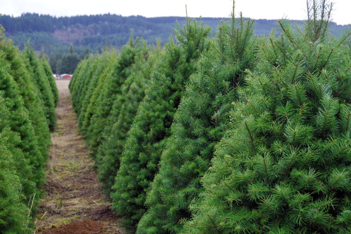 Auto Body Shop Near Me >> The Ultimate Guide to U-Cut Christmas Tree Farms ...
