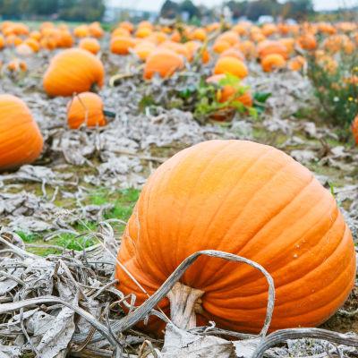 Pumpkin gfcah5