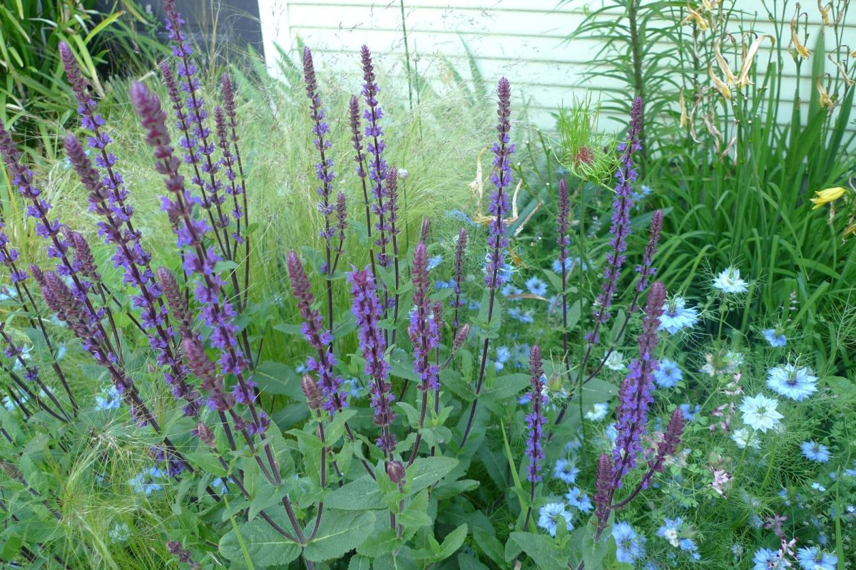 A Must Have Dazzling Purple Perennial Salvia Portland Monthly