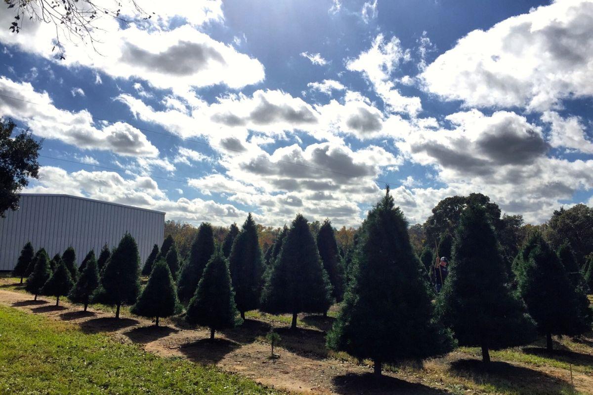 4 Christmas Tree Farms To Visit This Holiday Season | Houstonia