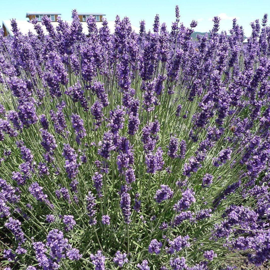 Lavenderimperialgem nbaiea