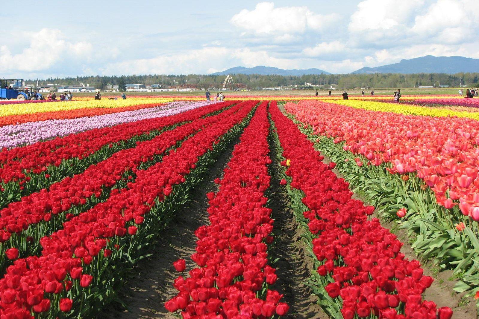 Tulips tfohjd