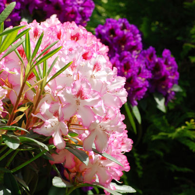 Rhododendrons ca8lpb