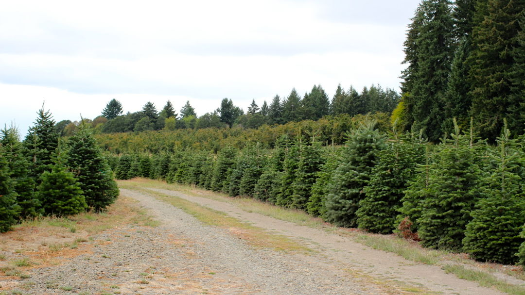 Oregon Christmas Trees.America S Christmas Trees Come From Oregon This Year