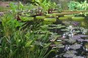 Duke gdns lily pond gwks39