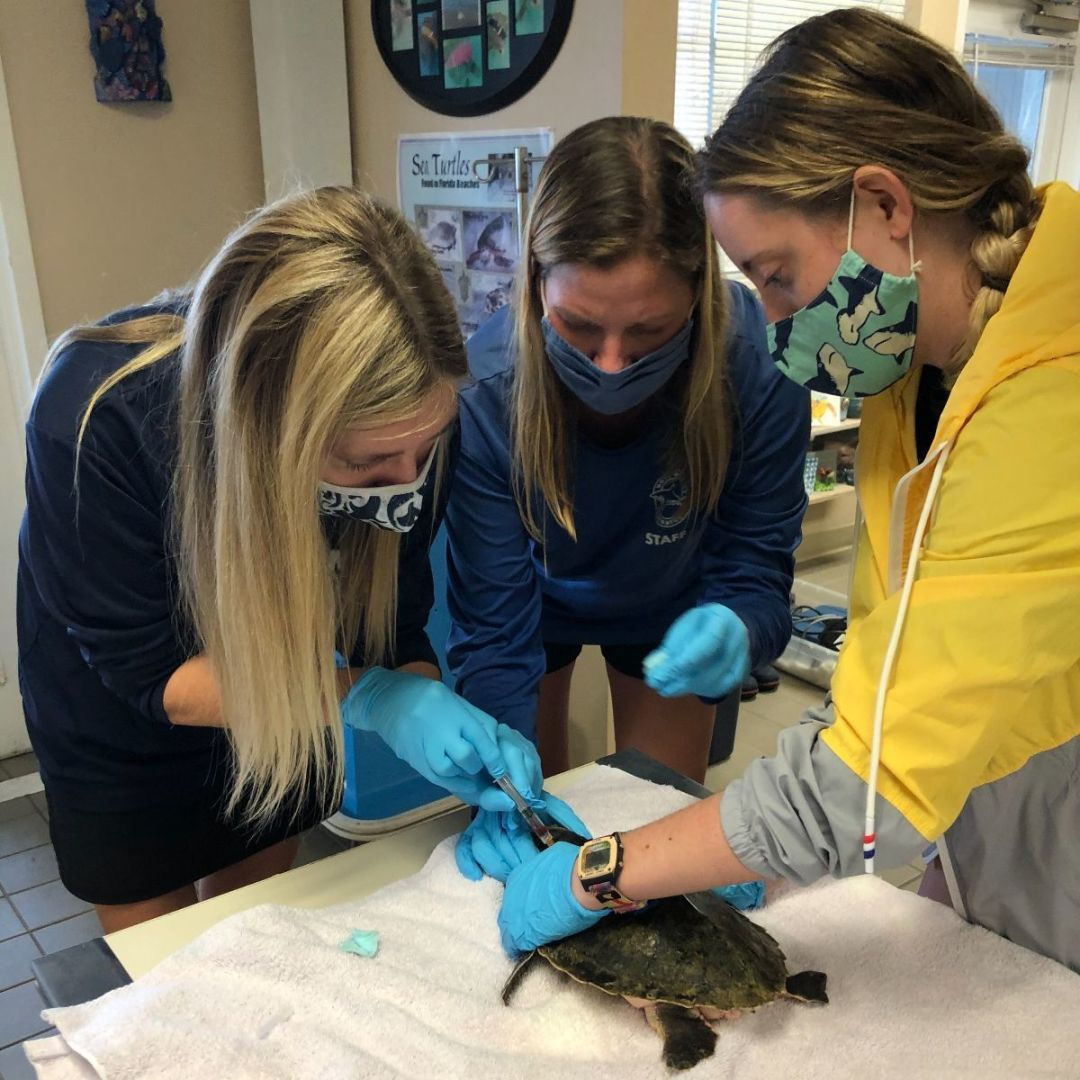 Mote staff members and interns care for one of the six Kemp's ridley sea turtles.
