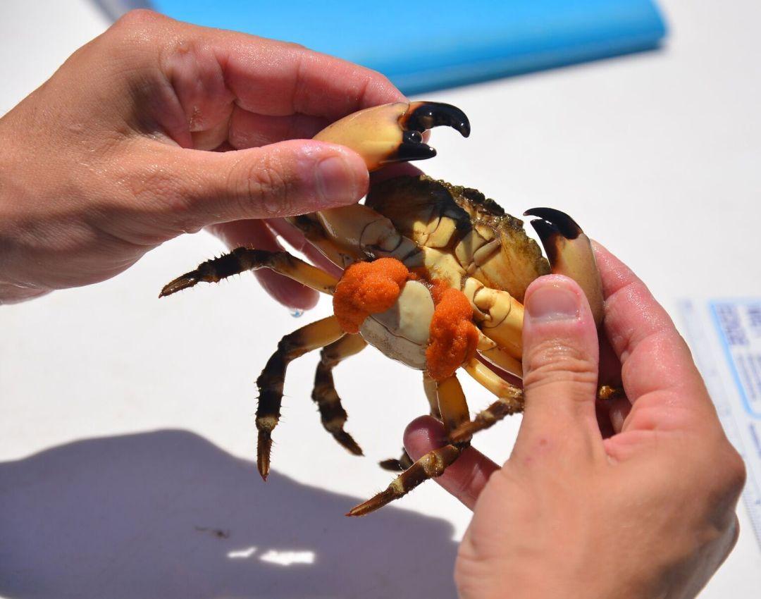 Stone crab rupabv