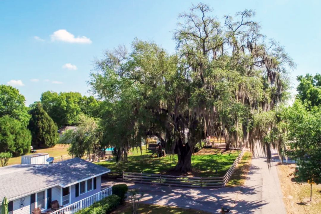 The oldest tree in Parrish, FL