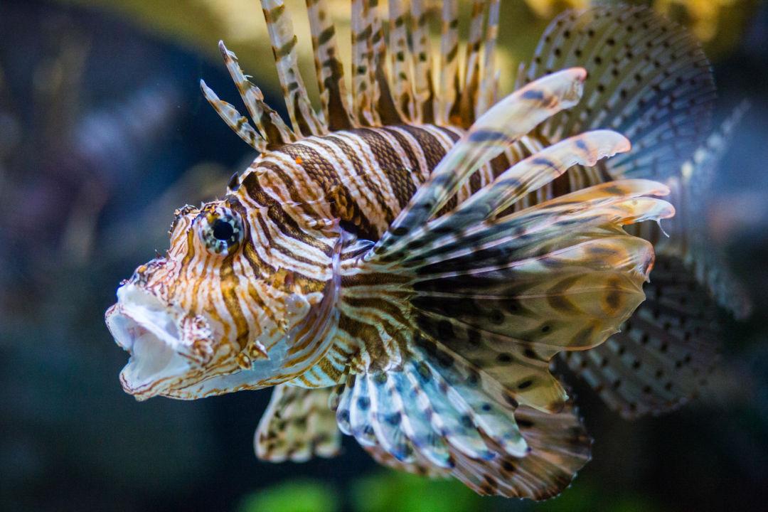 Lionfish 005 riyfdu