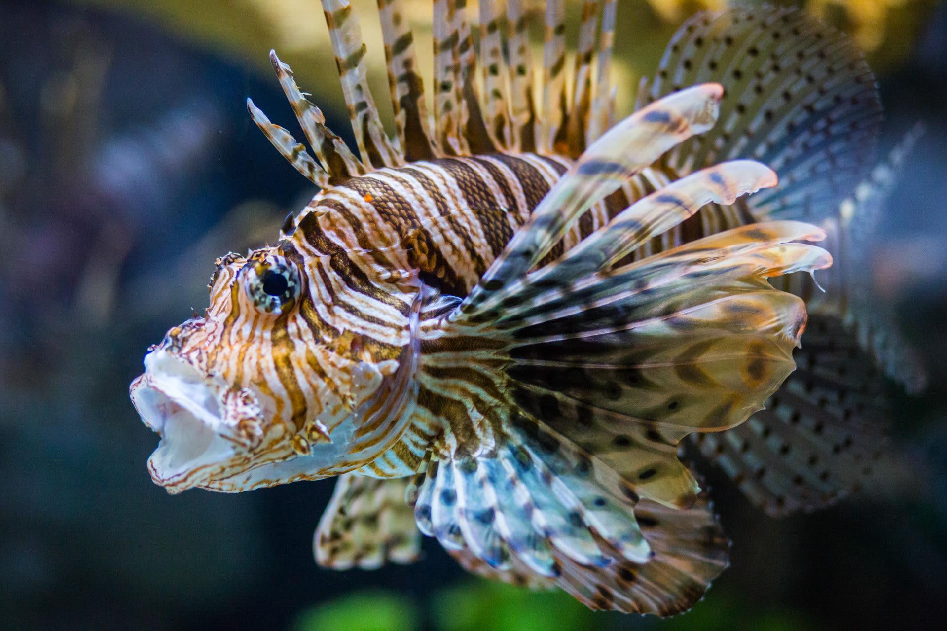 Lionfish 005 xqtzxt