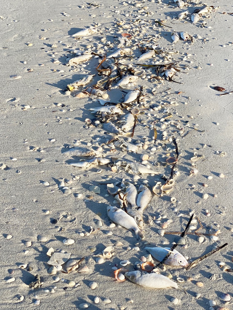 A fish kill on Whitney Beach on Longboat Key this weekend