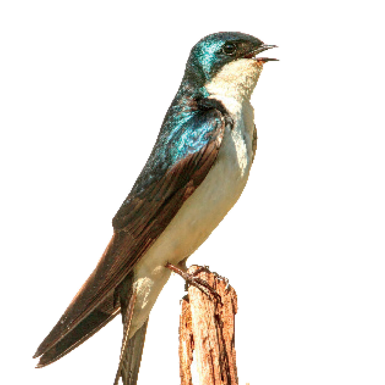 Pcsu 16 tree swallow mbksly