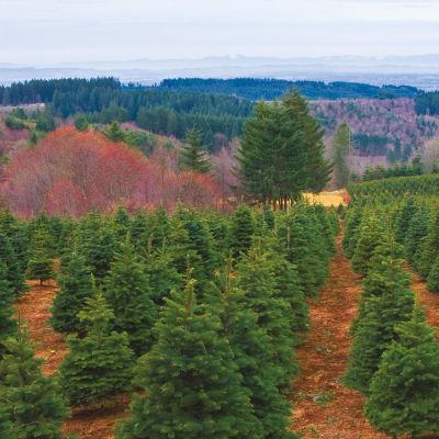 1215 christmas trees nj3kle