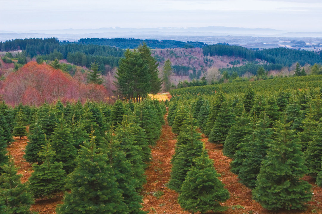 Oregon's Massive Christmas Tree Industry Gets Ready for a ...