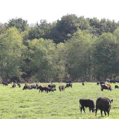 Angus wagyu cows mgtlft