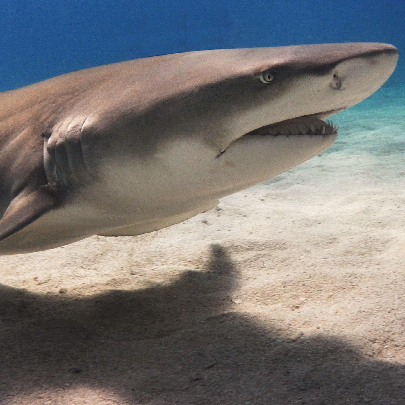 Shark dnbb3n