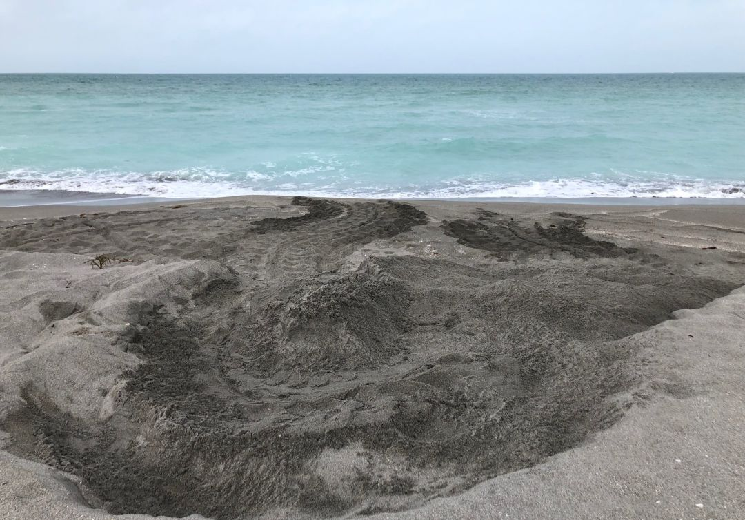 Two Leatherback Turtle Nests Discovered On Local Beaches Sarasota