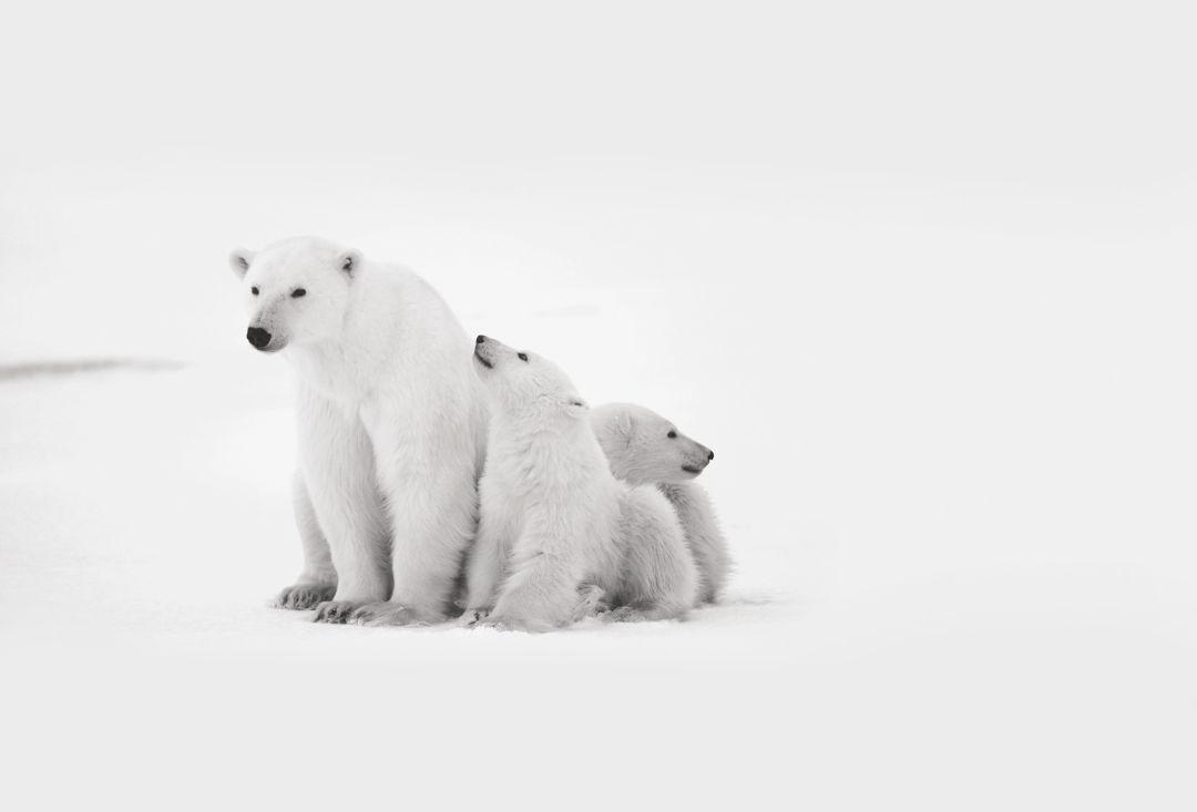 Pomo1216 smuggling polar bears fnrcpm