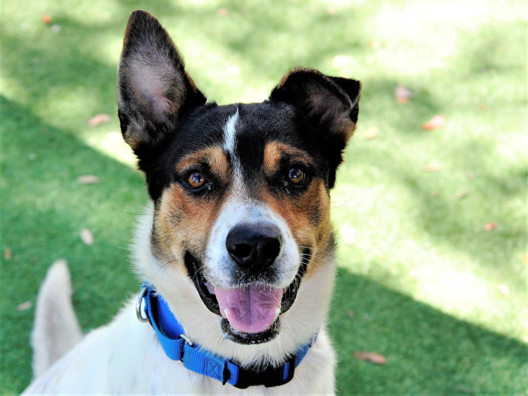 Tex, a one-year-old tricolor, hound mix available for adoption.