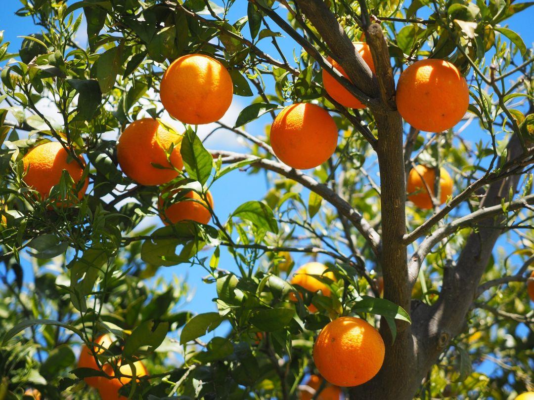 Orange tree fdcw7z