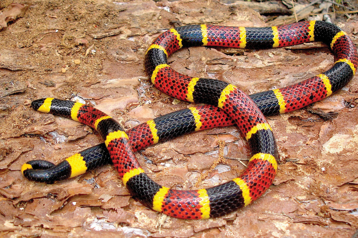How To Tick Off Texas Readers Accidentally Confuse A Coral Snake For A Milk Snake Houstonia Magazine