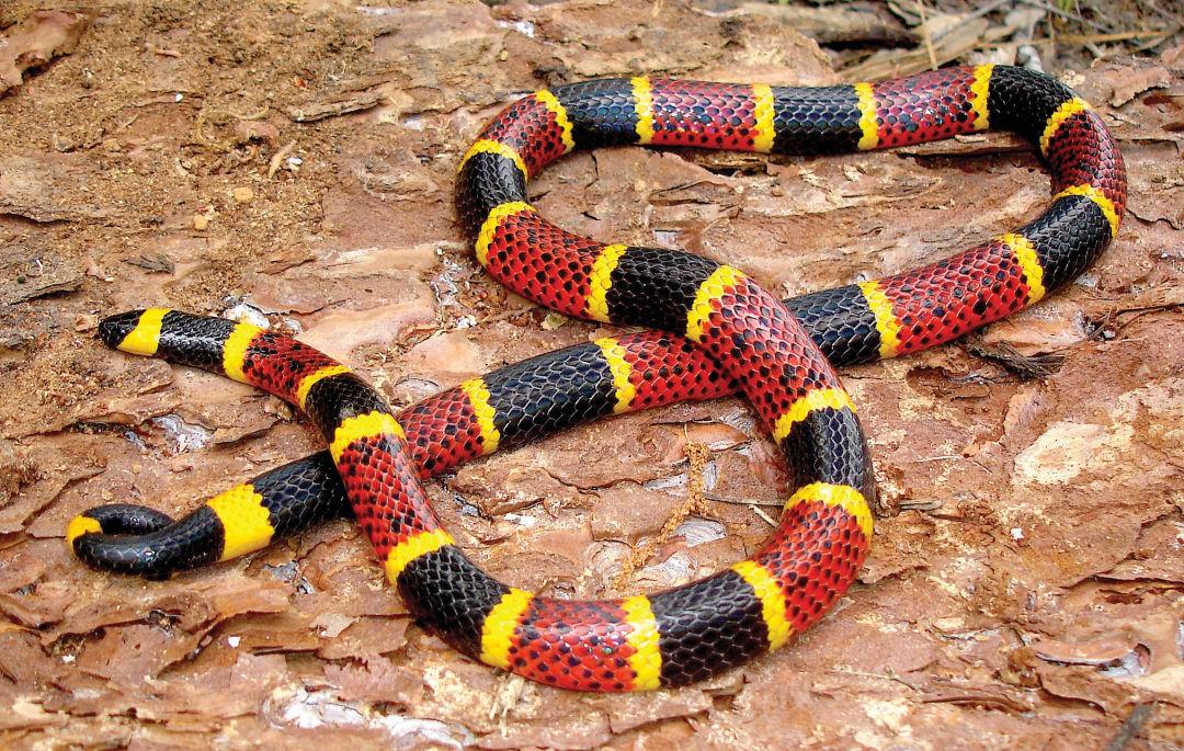 Coral Snake And Milk Snake | www.pixshark.com - Images ...