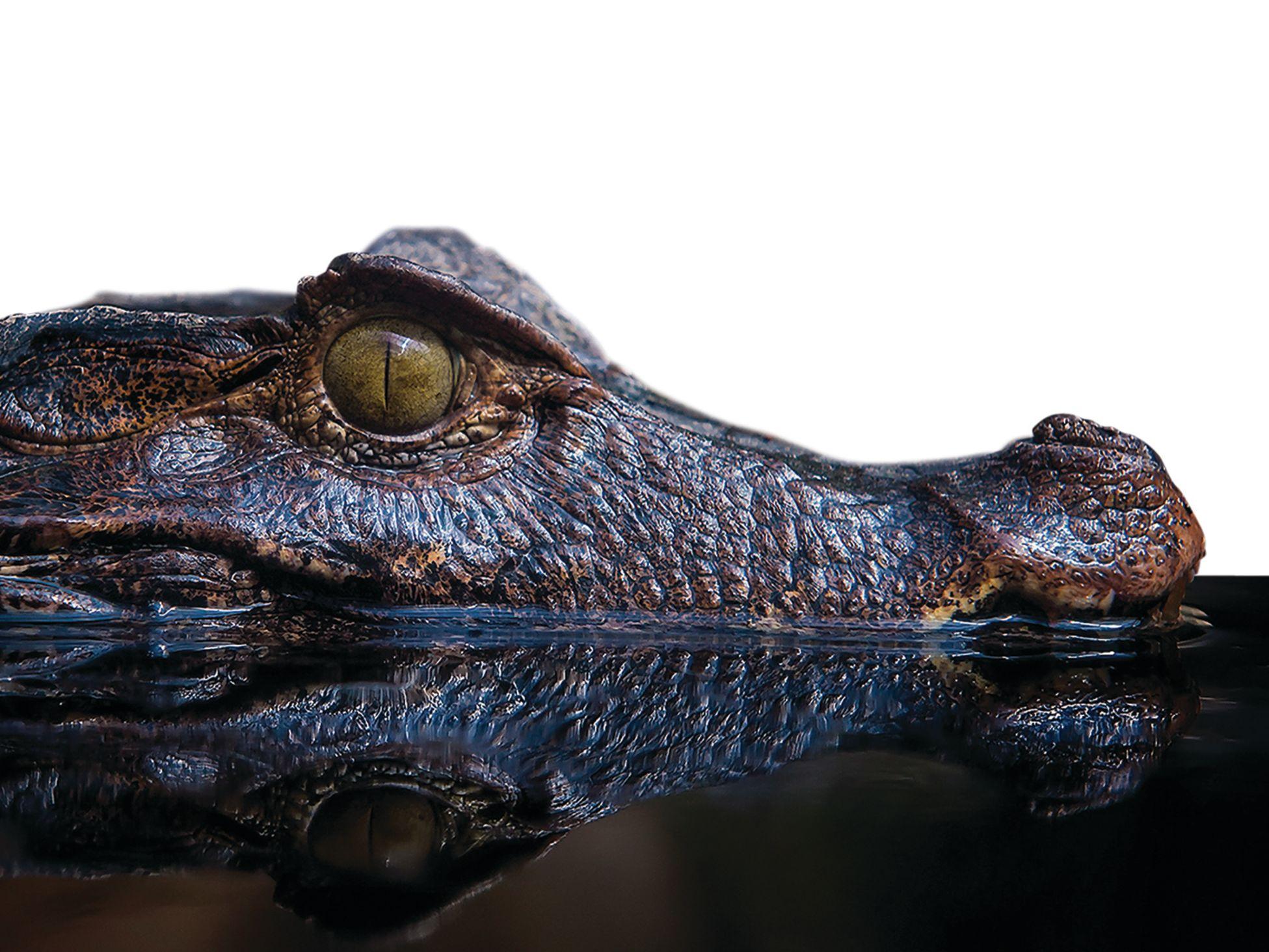 Alligator ihnhtw