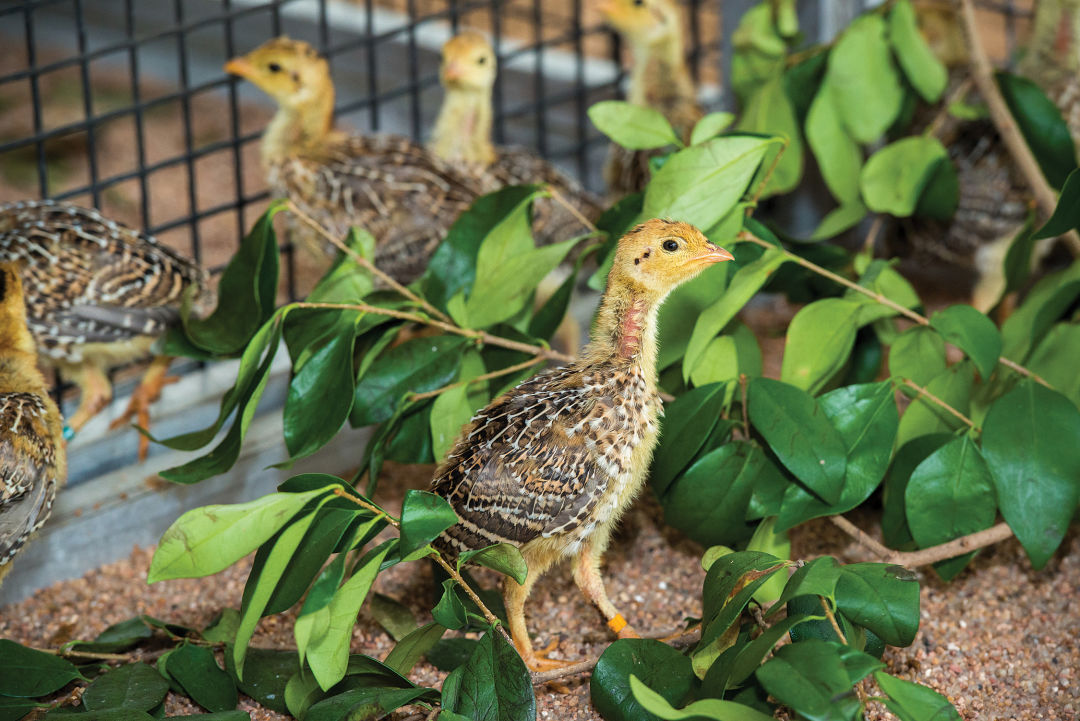 Attwater s prairie chicken 0025 0713 h2uskd