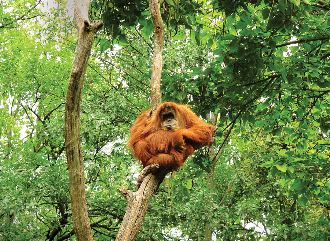 Orangutan q9xeyn