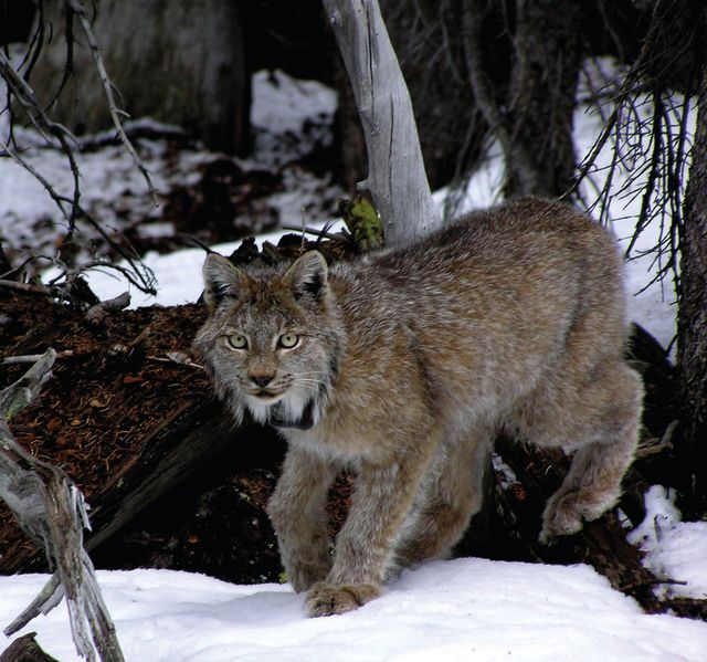 Lynx 22266 courtesycodeptnatresources loojvo