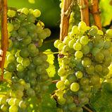 Grapes szrrid