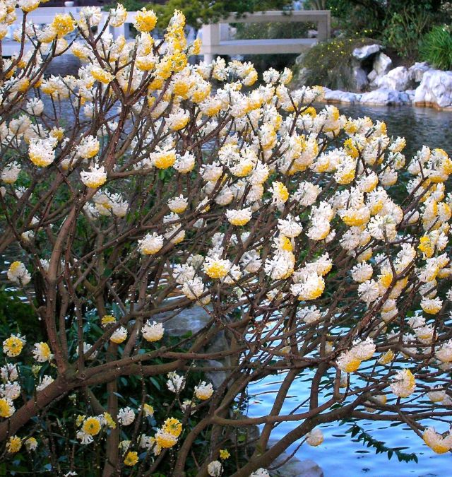 Paperbush A Nifty Winter Blooming Shrub Portland Monthly