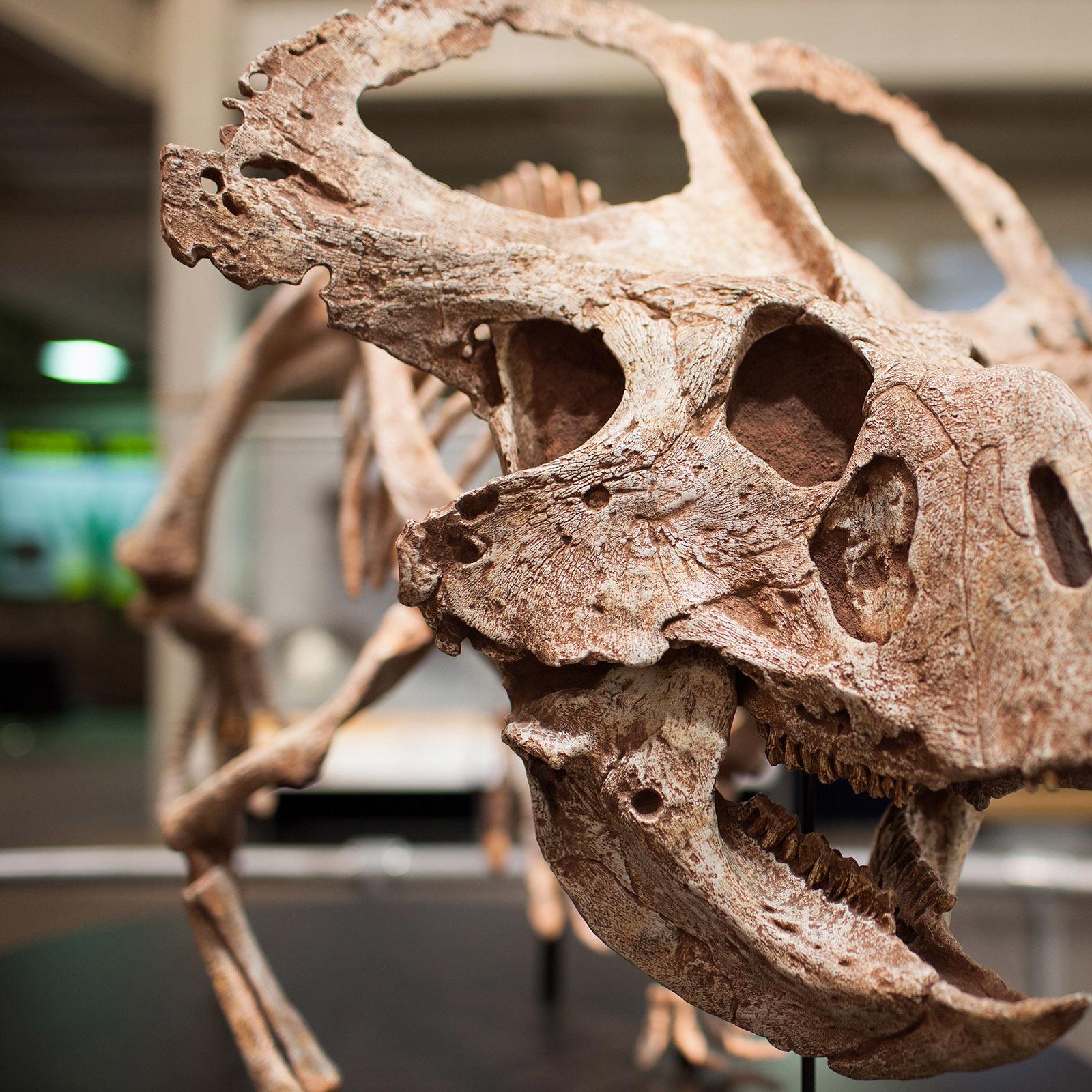 10 protoceratops skull med ixe1hu