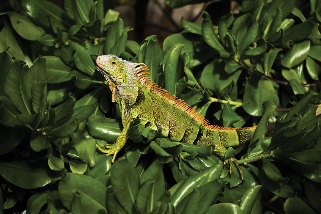 The green iguana thrives in Southwest Florida backyards.