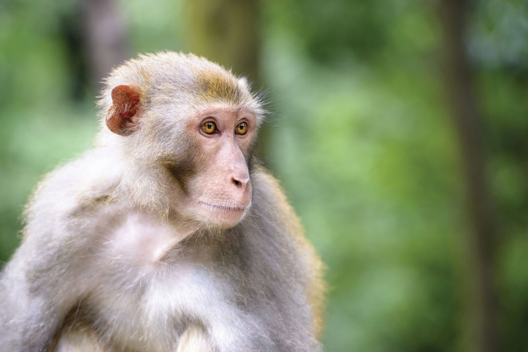 The rhesus macaque has found a home in Central Florida