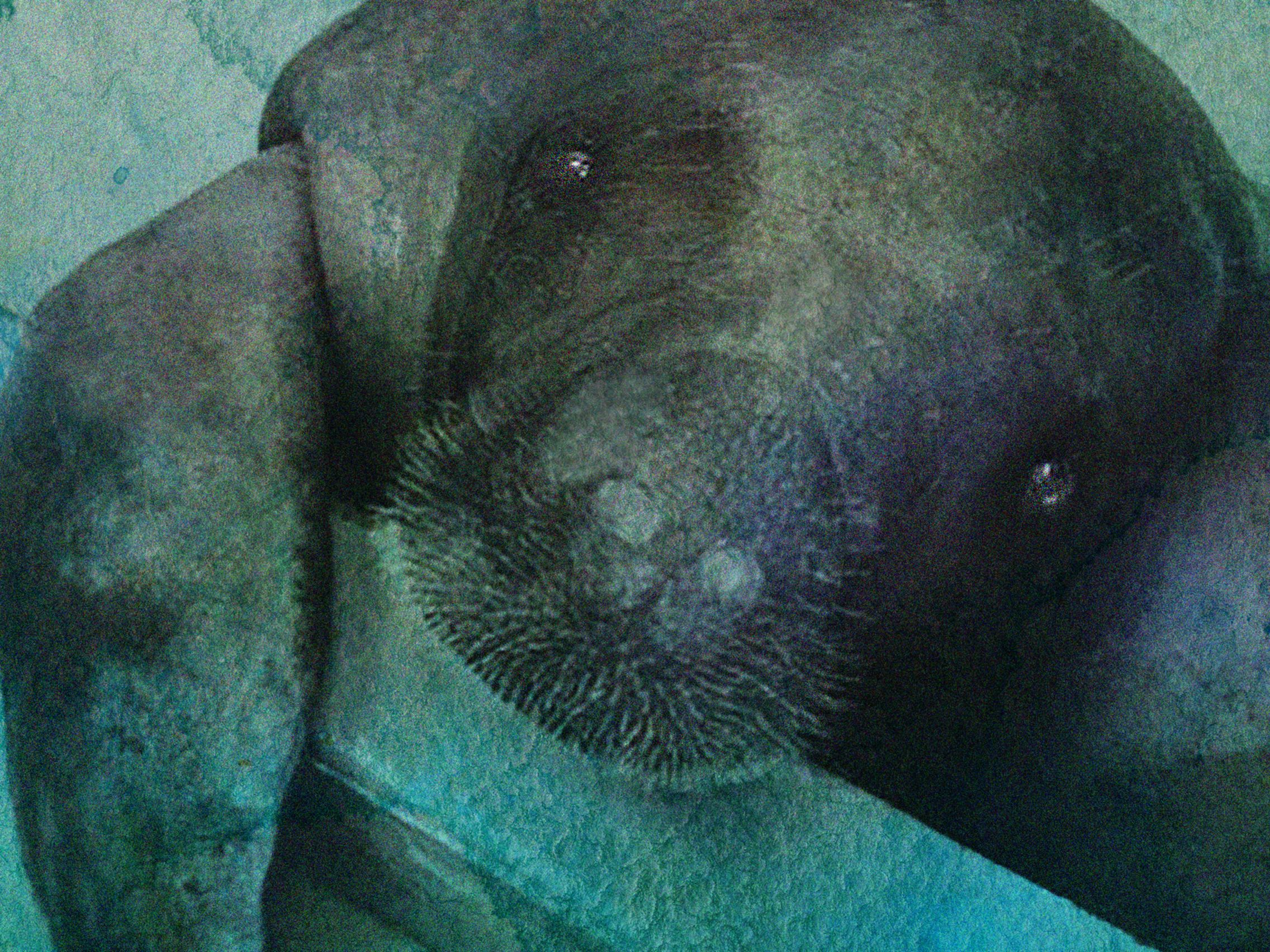 66 year old manatee snooty 9 gcoi6c