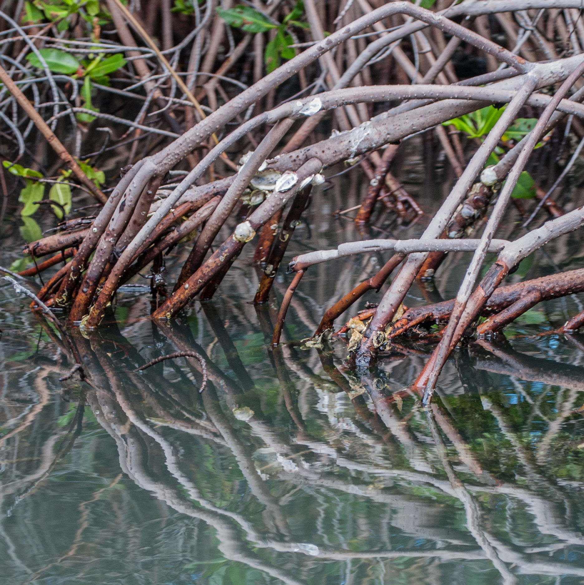 Mangroves x5kznz