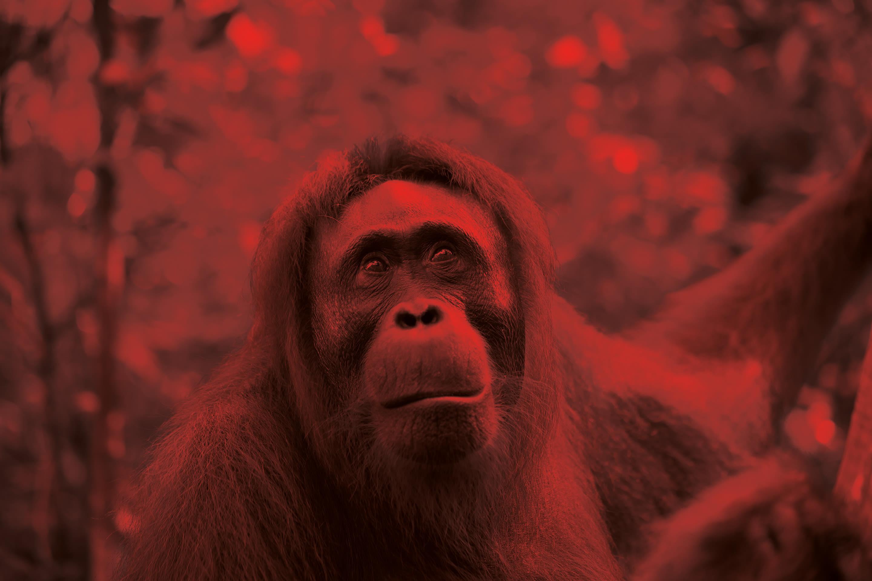 Pomo 1216 smuggling orangutan tedvgq