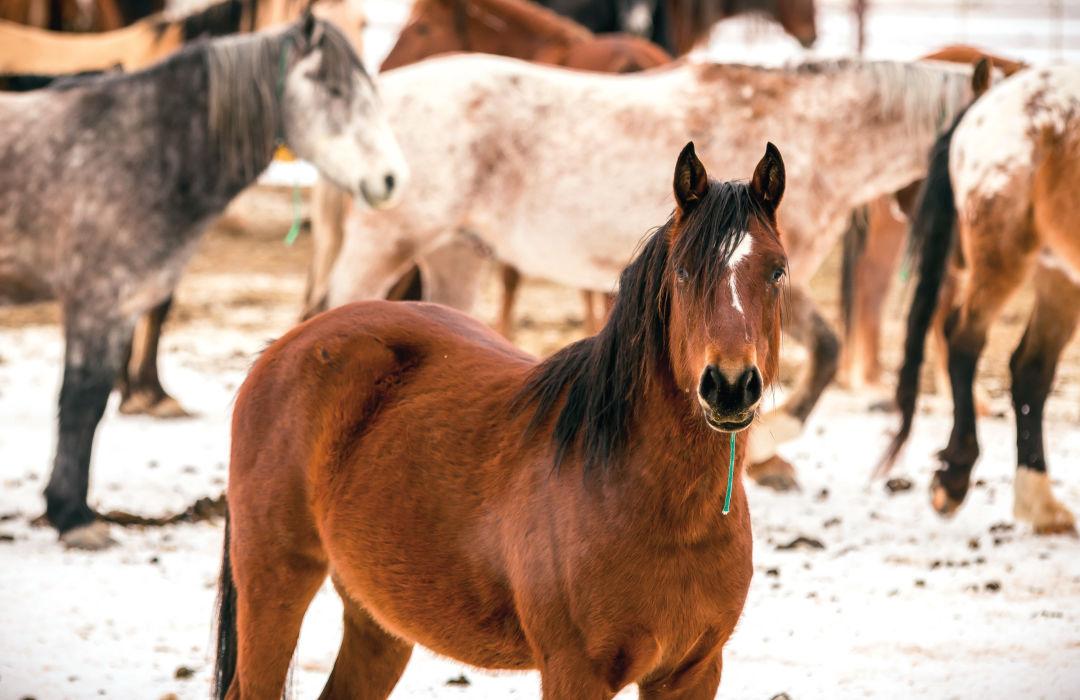 Pomo 0517 eastern oregon wild horse corral horses qvqi3r