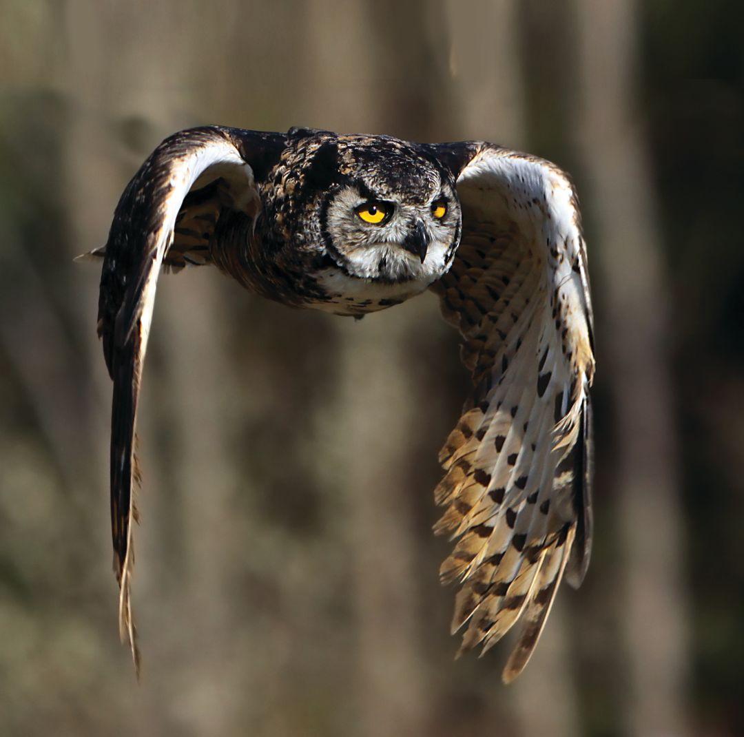 Park city summer 2013 night flyers great horned owl ephntw