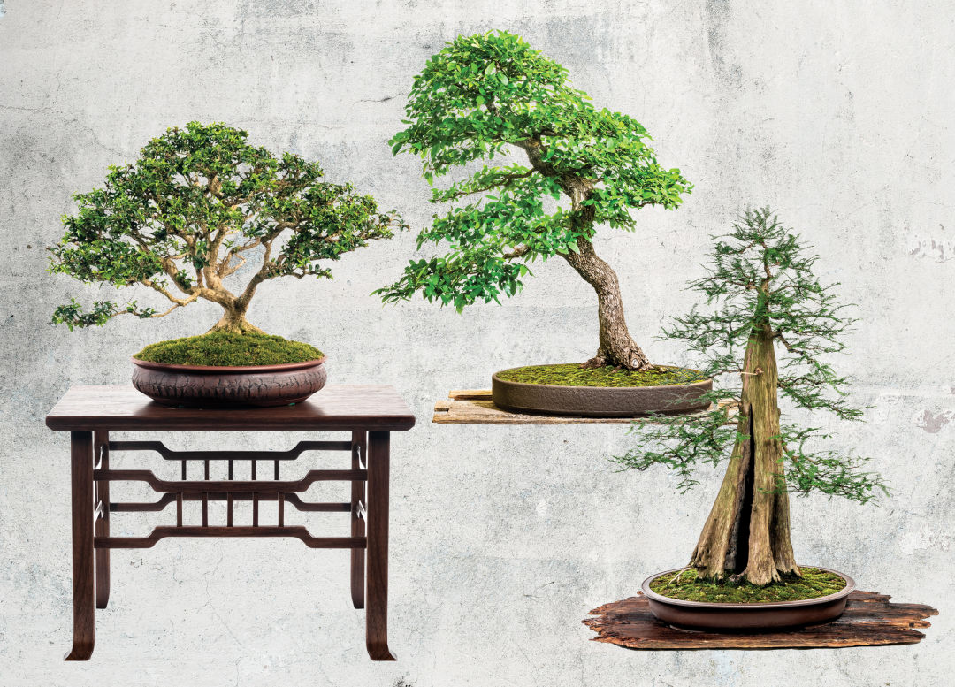 Care For Trees With The Ancient Art Of Bonsai Houstonia Magazine