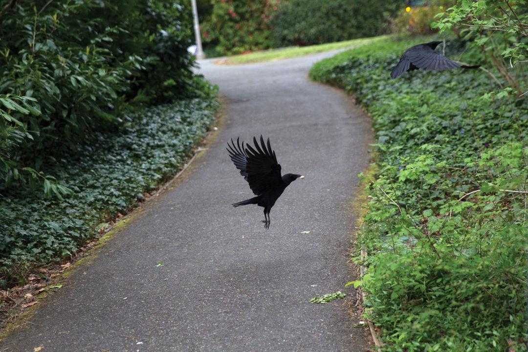 Crow fullres 15 z7xvgu