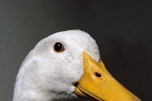 Foar01 foie gras jadrhz