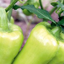 0709 pg157 savor gypsy pepper t aedpm0