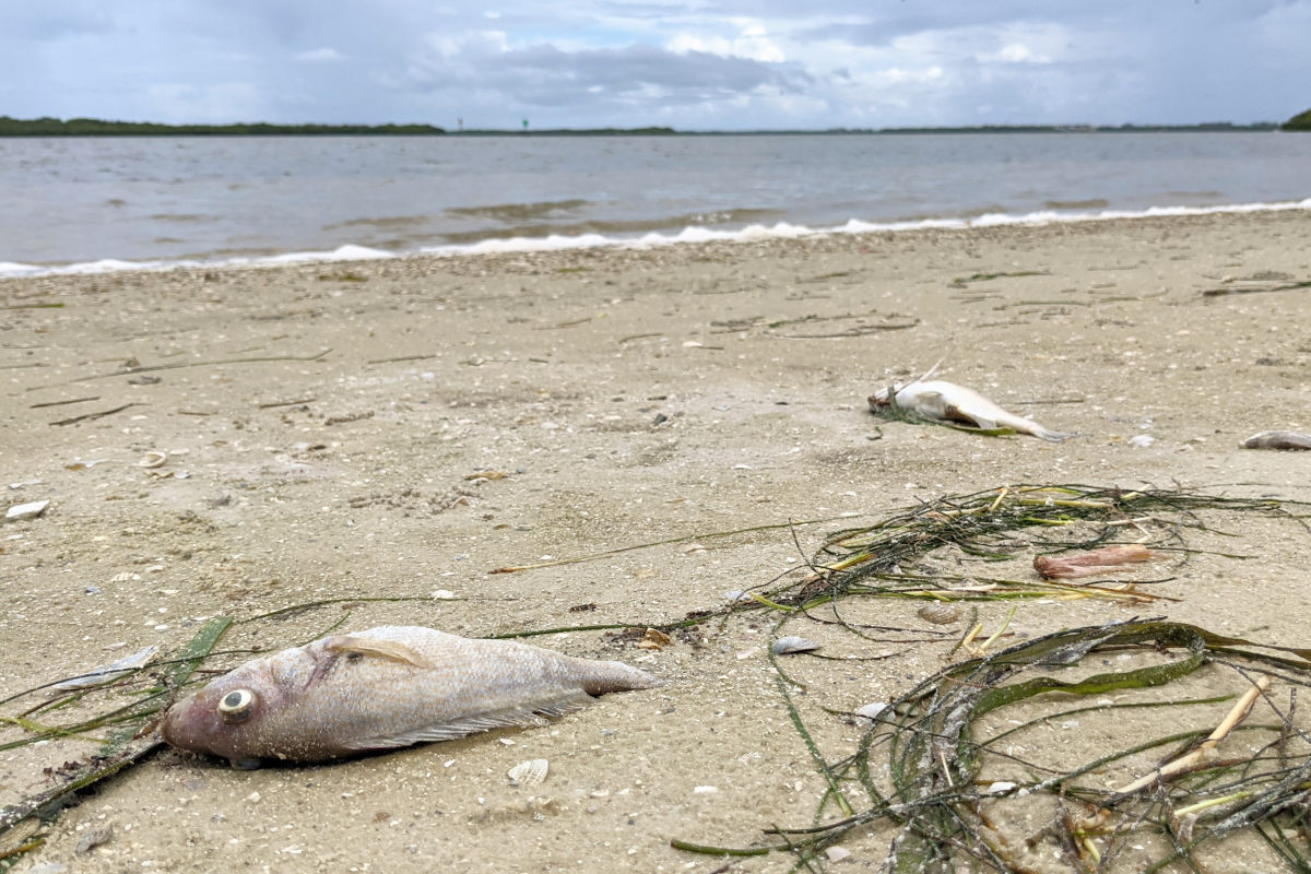 Red Tide Continues to Affect Sarasota's Beaches and Wildlife - Sarasota