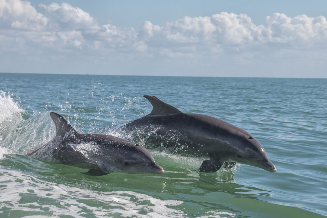 Mote is celebrating 50 years of its Dolphin Research Program