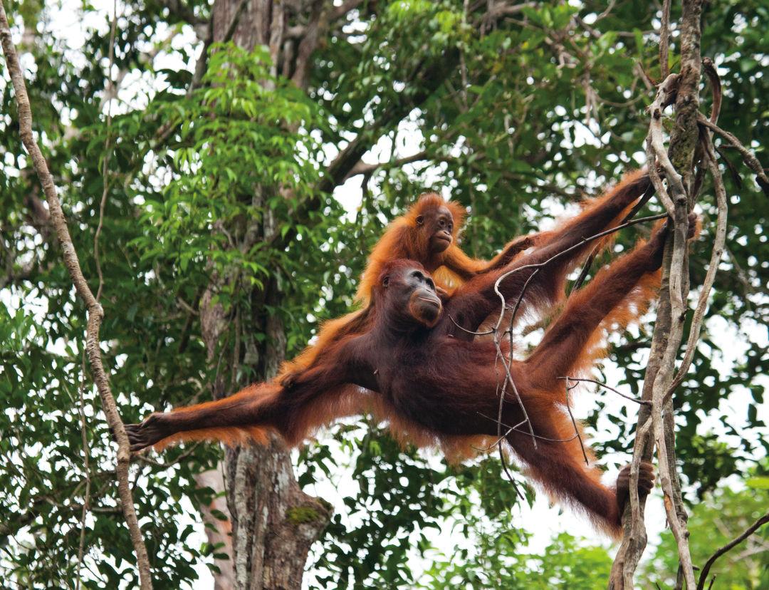 Pomo 0517 orangutans zlrucq